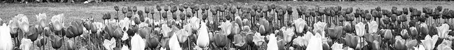 Tulip Festival 2013