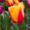 Skagit Valley Tulips 2015